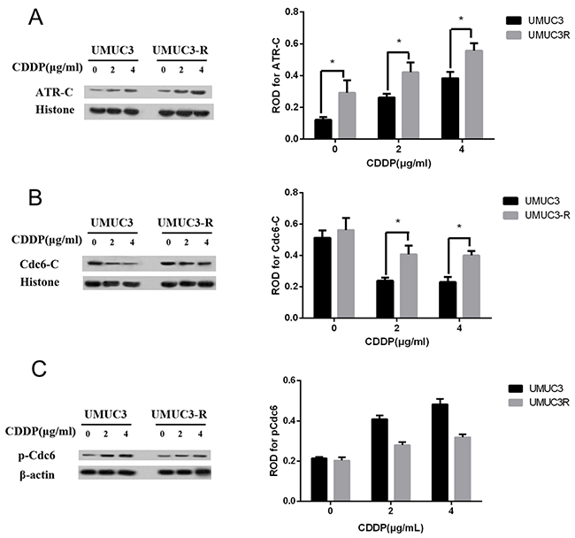 Chromatin-binding of Cdc6 and ATR are increased in UMUC3-R cells.