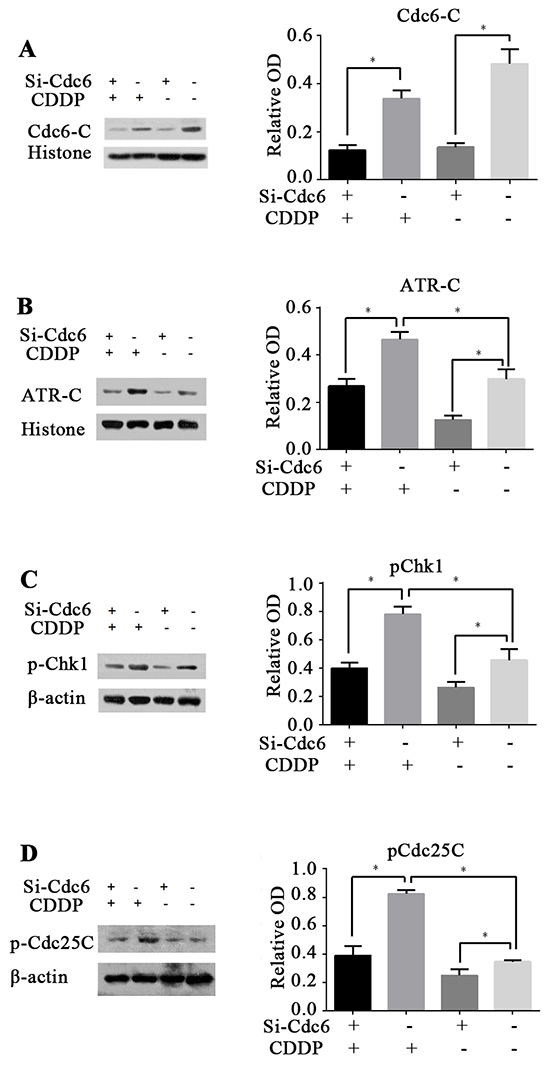 Cdc6 depletion inhibits ATR-Chk1-Cdc25 checkpoint pathway.