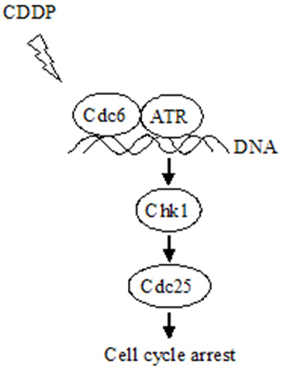 Schematic model for the mechanism that Cdc6 contributes to CDDP resistance by facilitating activation of ATR-Chk1-Cdc25C pathway.
