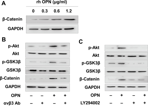 OPN/αvβ3 activated β-catenin via PI3K/Akt/GSK3β signaling pathway.