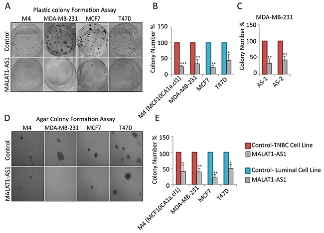 Depletion of MALAT1 in breast cancer cells decreases cell proliferation and anchorage-independent colony formation.