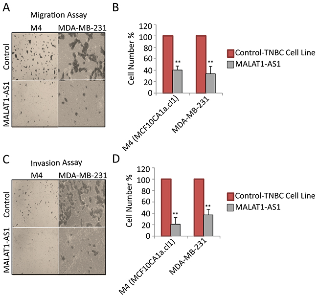 MALAT1 depletion decreases migration and invasion in metastatic TNBC cells.