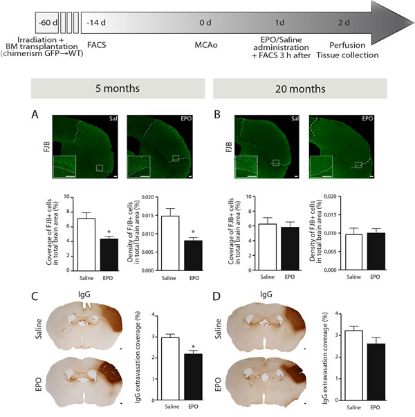 rhEPO administration limits neuronal loss and BBB breakdown in ischemic injury.