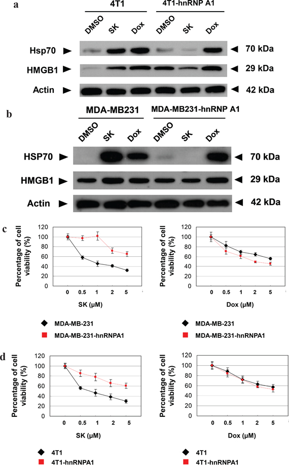 hnRNPA1 is a critical mediator of the SK-induced ICD activity in mammary tumor cells.