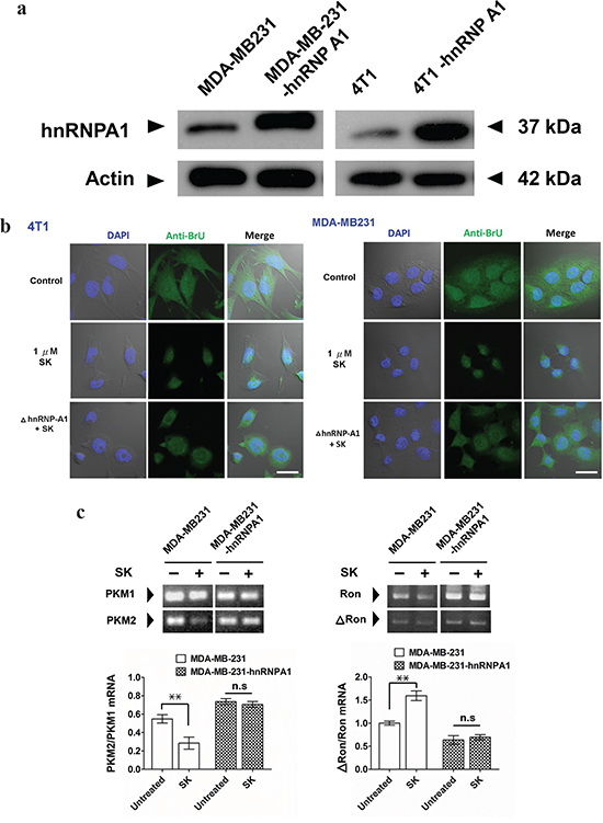SK treatment disrupts the hnRNPA1-mediated nuclear export activity of newly synthesized RNA.