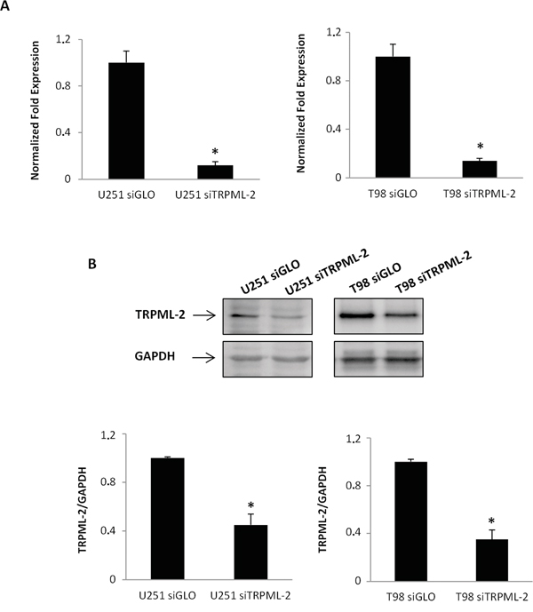 TRPML-2 silencing reduces the TRPML-2 mRNA and protein expression in glioma cell lines.