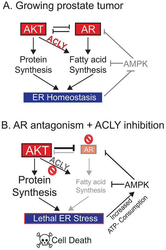 Model: An ACLY-AMPK-AR network sustains ER homeostasis, AR levels, and cell survival in prostate cancer.