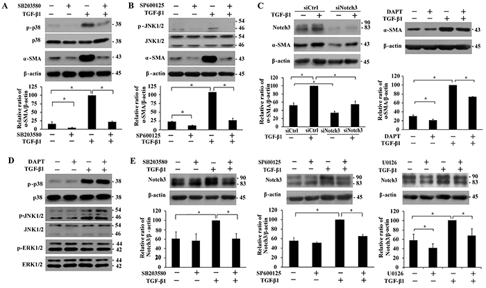 Analyses of the effect of p38, JNK1/2 and Notch3 inhibitions on TGF-β1-induced α-SMA expression and the regulation between MAPKs and Notch3 signaling in IMR-90 fibroblasts.
