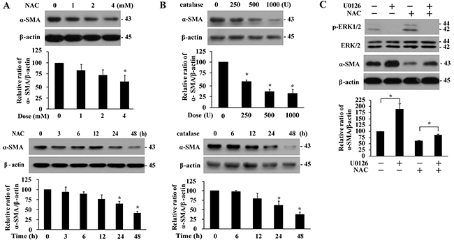 Basal α-SMA expression is suppressed in the presence of antioxidant or by ERK signaling.