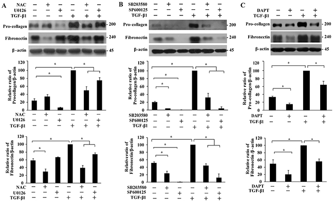 Effect of MAPKs and Notch3 on TGF-β1-induced secretion of extracellular matrix proteins.