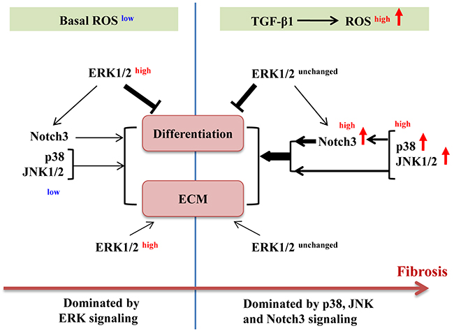 Schematic illustration of roles of ERK1/2, p38, JNK1/2 and Notch3 in basal and TGF-β1-induced myofibroblast differentiation.