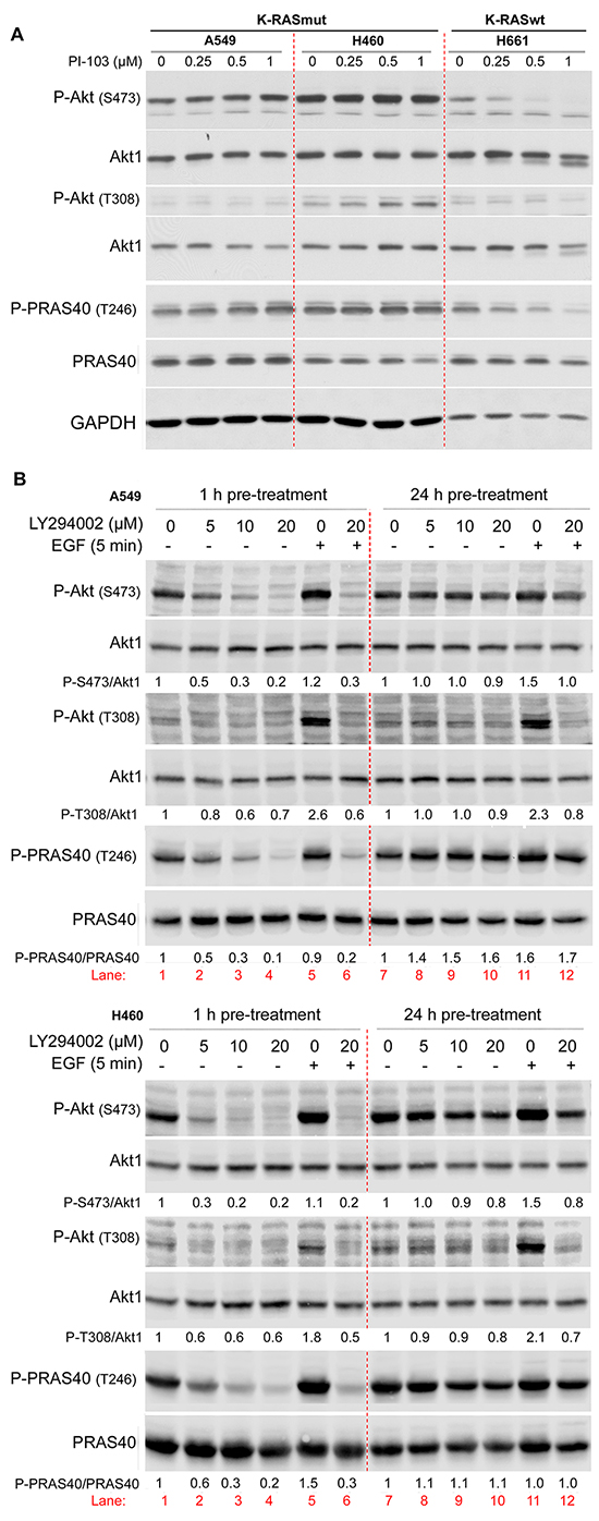 Long-term inhibition of PI3K leads to PI3K-independent reactivation of Akt.