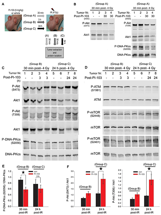Long-term treatment with PI-103 leads to the reactivation of Akt and the lack of effect on radiation-induced DNA-PKcs phosphorylation in vivo.