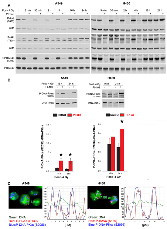 Short-term inhibition of Akt leads to the retention of phosphorylated DNA-PKcs to the DSBs site. A. Cells were treated with DMSO and PI-103 for 2 h at different times and irradiated with 4 Gy.