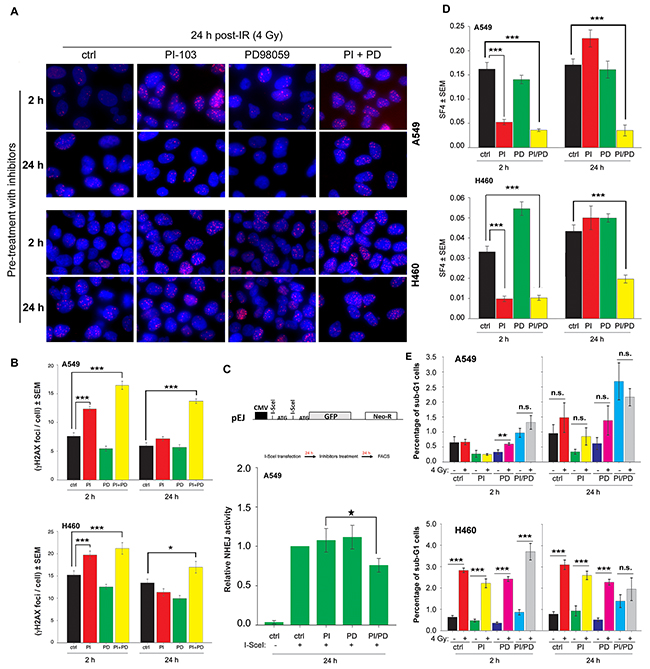 Long-term inhibition by the combination of PI-103 and PD98059 treatment inhibits DSBs repair through NHEJ and induced radiosensitization of K-RASmut NSCLC cells.