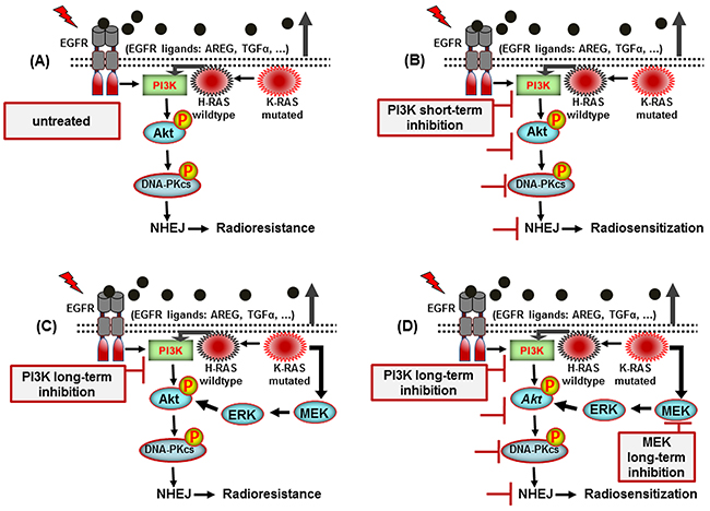 A model illustrating the signaling pathways involved in post-irradiation cells survival of K-RAS mutated NSCLC cells.