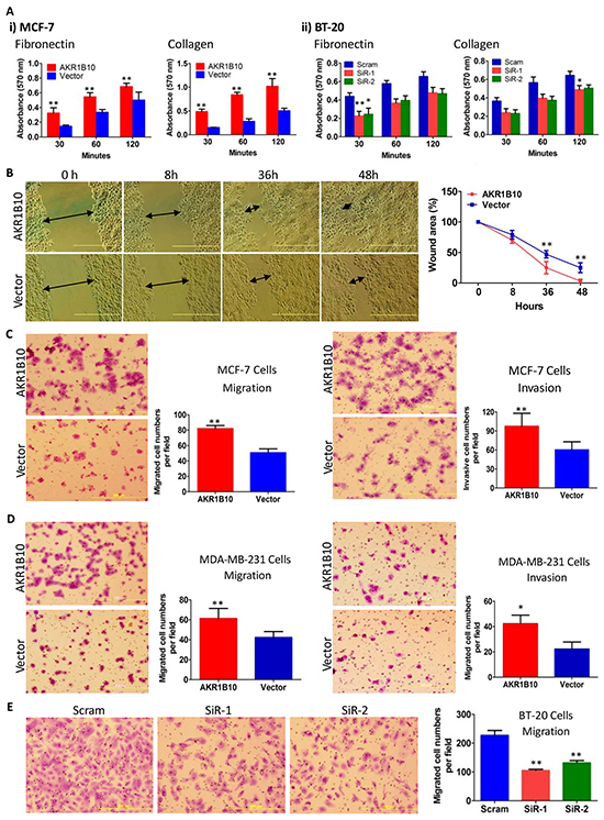 AKR1B10 increases adhesion, migration and invasion of breast cancer cells.