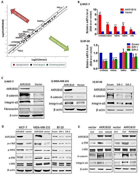 AKR1B10 upregulates integrin α5 and δ-catenin in breast cancer cells.