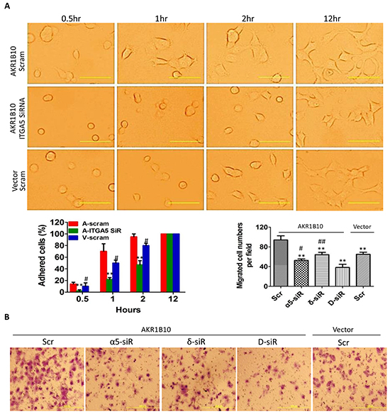 Integrin α5 and δ-catenin mediate the AKR1B10-promoted cell adhesion and migration.