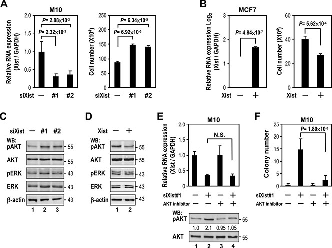 Xist downregulation increases cell viability via AKT activation.
