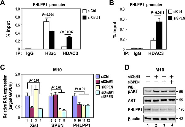 Depletion of Xist or SPEN increases HDAC3 recruitment to the PHLPP1 promoter and decreases PHLPP1 expression.
