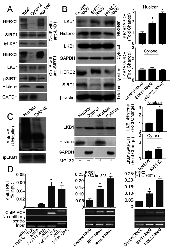 SIRT1 and HERC2 downregulates LKB1 in the nuclear compartments of endothelial cells.