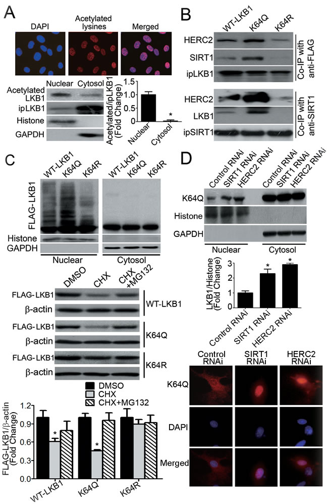 Acetylation of LKB1 at lysine 64 facilitates its interactions with SIRT1/HERC2 and protein degradation in the nuclear compartment of endothelial cells.