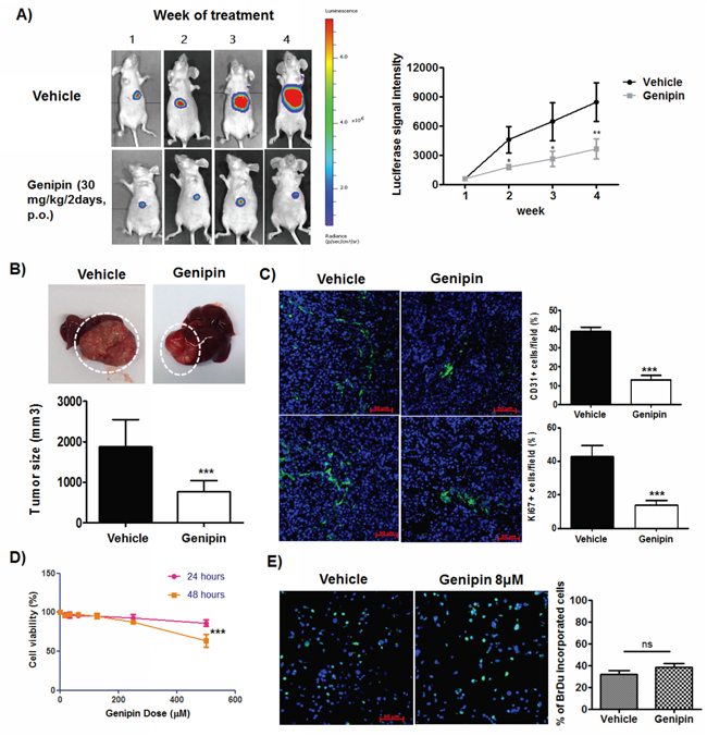 Genipin suppresses orthotopic growth of HCC without induces toxicity to cancer cells.