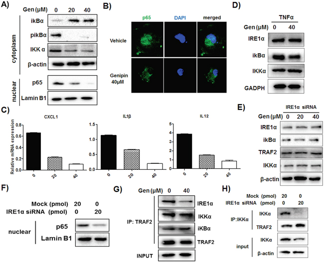 Reduced association of IRE1α-TRAF2-IKK may be responsible for genipin-regulated inactivation of NF-κB.
