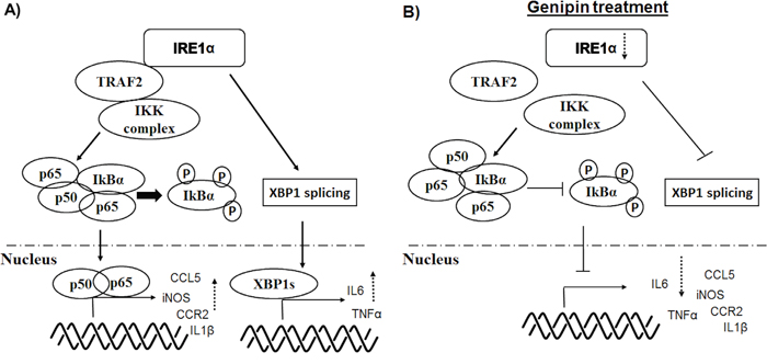 Schematic diagram of the mechanisms underlying inhibition of TAMs by genipin.