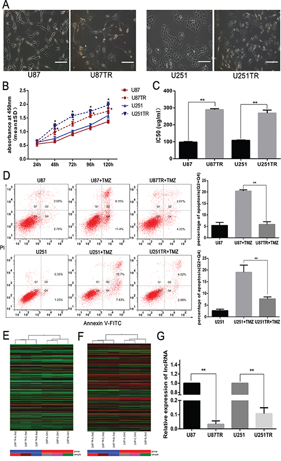LncRNA RP11-838N2.4 was down regulated in TMZ-resistant GBM cells.