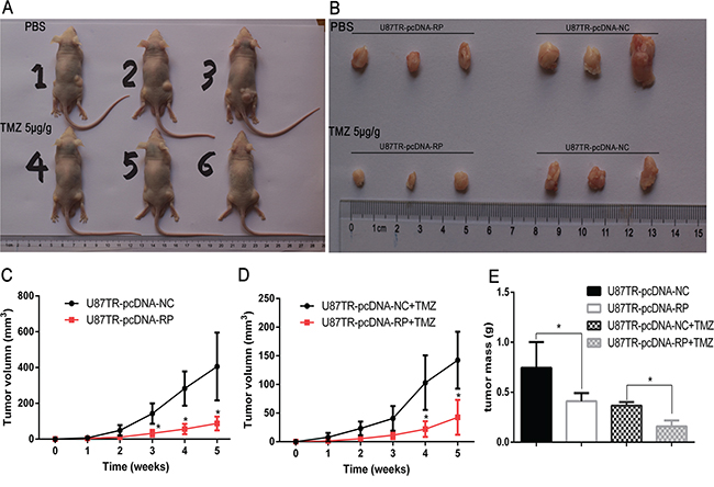 LncRNA RP11-838N2.4 enhances TMZ-induced cytotoxicity of U87TR in vivo.