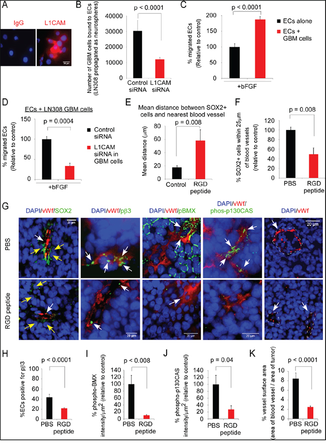 Administration of the RGD-peptide significantly reduces the proximity of Sox2-positive tumor cells to ECs, and BMX and p130CAS activation in ECs in an intracerebral xenograft model of GBM.