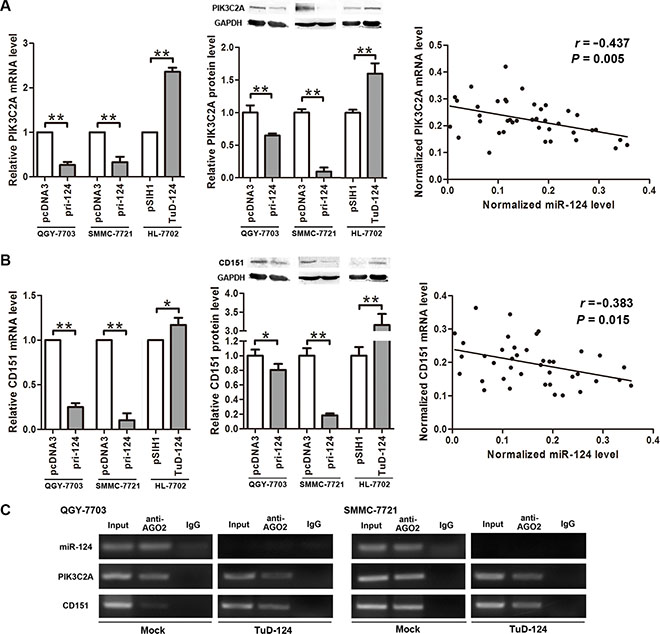 miR-124 negatively regulates PIK3C2A and CD151 expression.