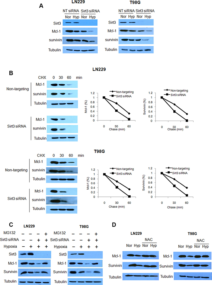 Inhibition of Sirt3 promotes the degradation of Mcl-1 and survivin.