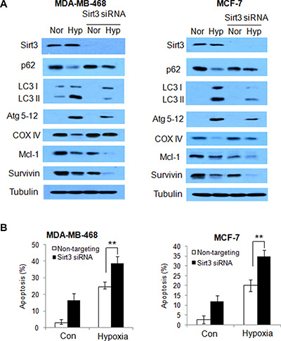 Silencing of Sirt3 decreases autophagy, but increases apoptosis in human breast cancer cells subjected to hypoxia.