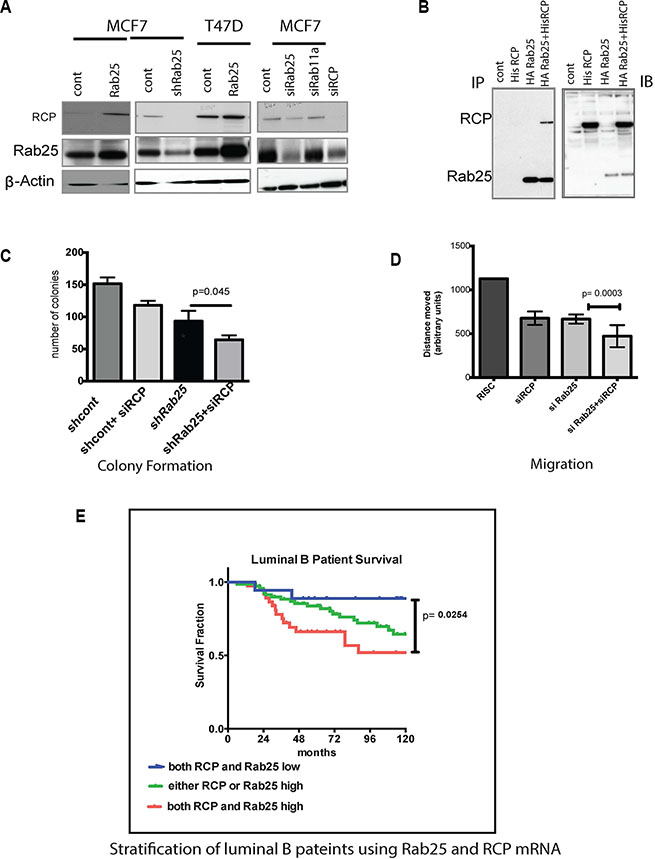Rab25 mediates its oncogenic effects partly through RCP/Rab11Fip1.