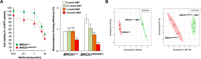 Treatment with the mitochondrial poison metformin suppresses mammosphere-initiating capacity of BRCA1 haploinsufficient breast epithelial cells.