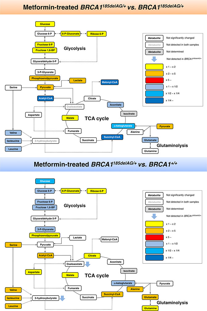 Metformin-induced metabolic changes in BRCA1 haploinsufficient breast epithelial cells.