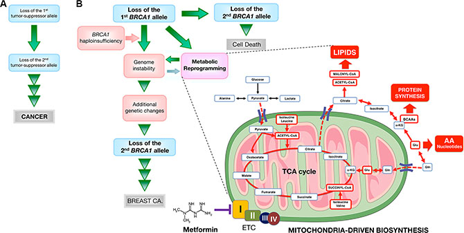 Mitochondrial-dependent biosynthesis: a therapeutically targetable feature of BRCA1-driven breast carcinogenesis.