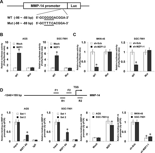 MZF1 increases the transcription of MMP-14 through direct binding to its promoter.