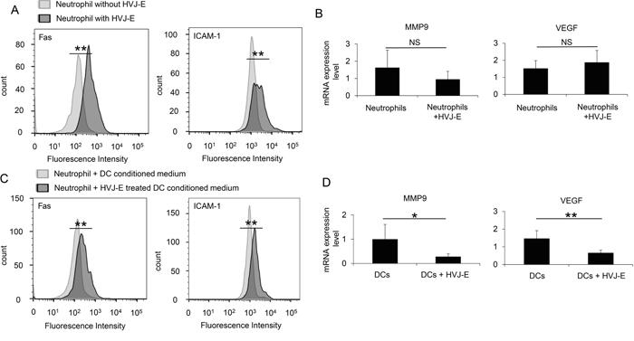 N1 polarization of HVJ-E-stimulated neutrophils.