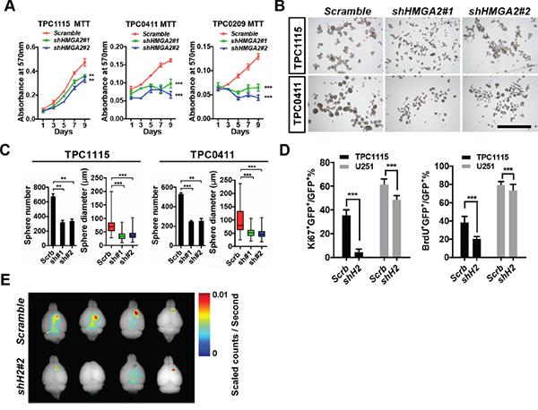 HMGA2 sustains GIC self-renewal and tumorigenicity.
