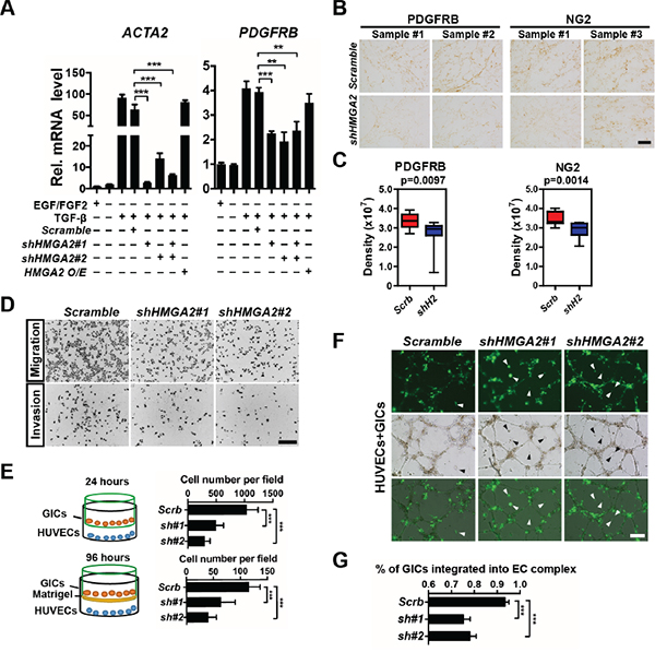HMGA2 is required for invasive properties, pericyte differentiation, and EC integration of glioma-initiating cells.