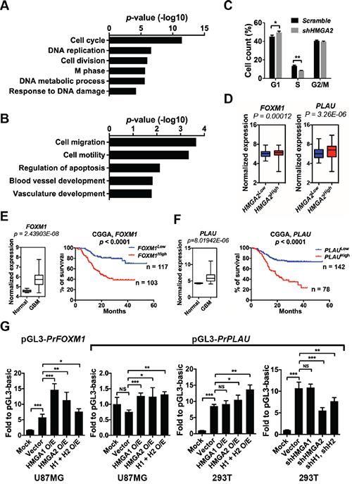 HMGA2 facilitates the expressions of FOXM1 and PLAU.