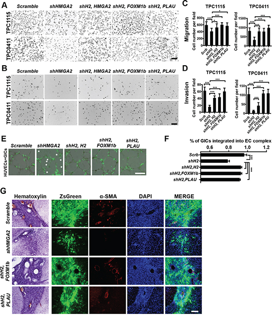 Overexpression of FOXM1 or PLAU restores invasive, tumorigenic and angiogenic potentials in HMGA2-depleted GICs.