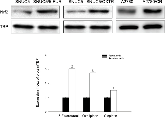 Nrf2 protein level in chemo-resistant cancer cells.