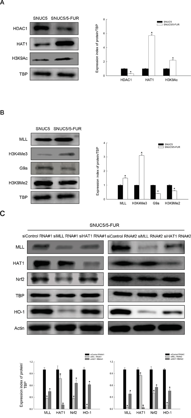 Expression of histone modification-related proteins in SNUC5 and SNUC5/5-FUR.