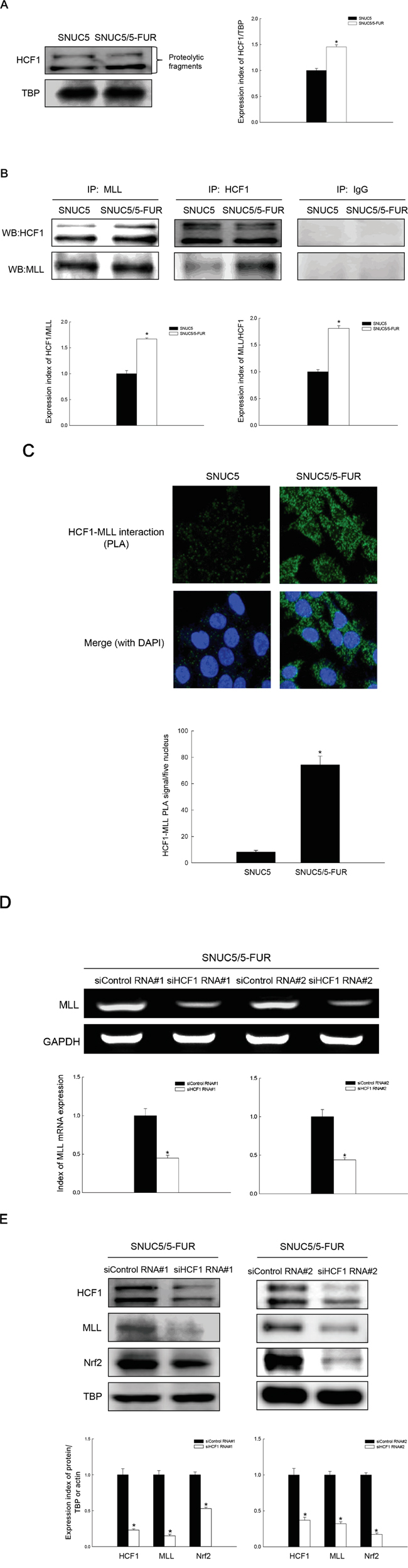Effect of MLL-HCF1 interaction on histone methylation and Nrf2 expression in SNUC5/5-FUR cells.