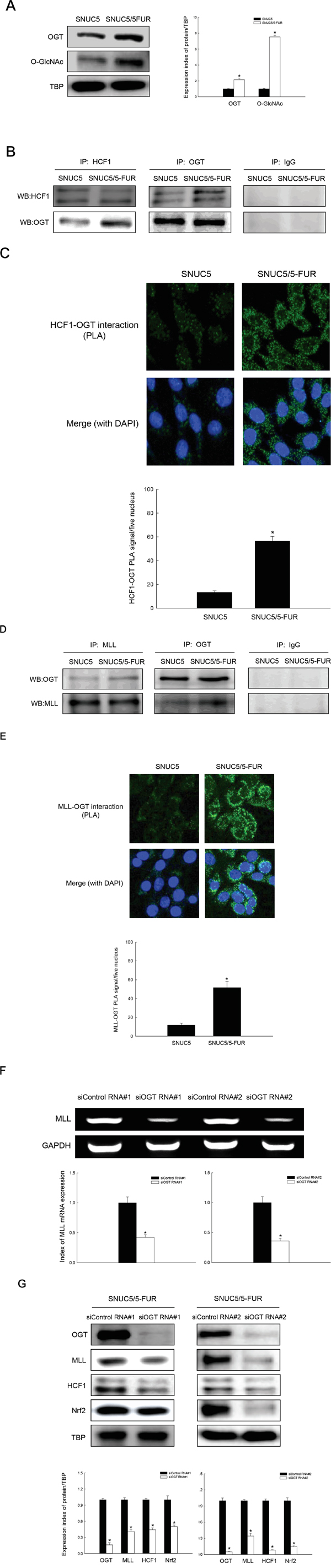 Involvement of OGT in histone methylase MLL/COMPASS-like complex-mediated Nrf2 expression in SNUC5/5-FUR cells.
